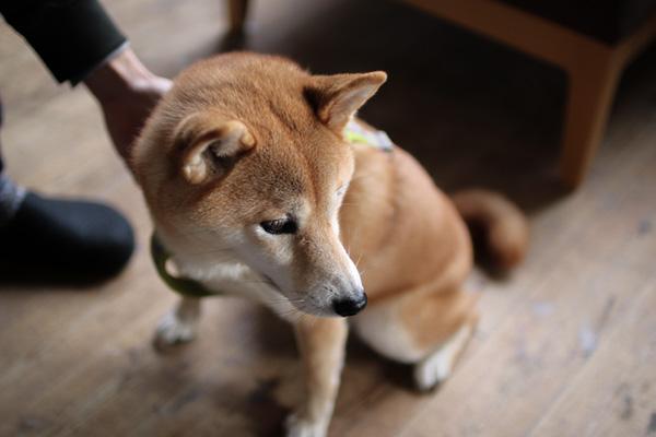 ちいさくてかわいいおきゃくさま。柴犬