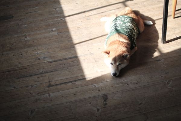 ひなたぼっこ 柴犬